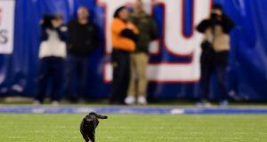 Black Cat, MetLife Stadium